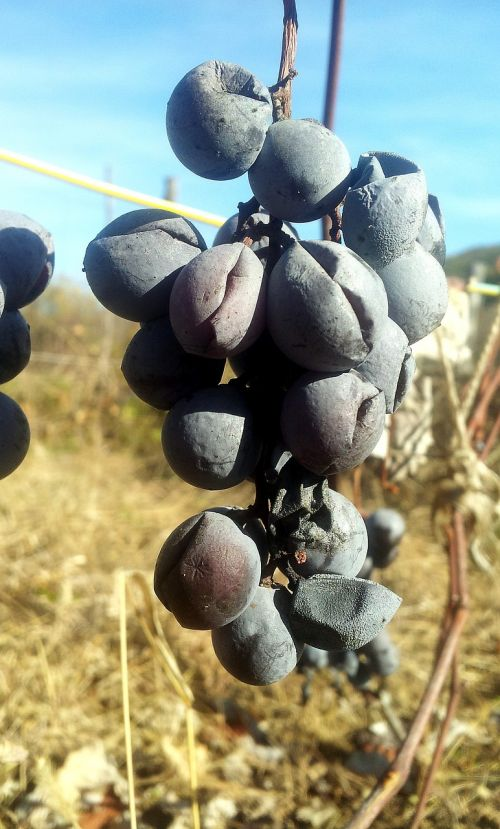 dried black grapes