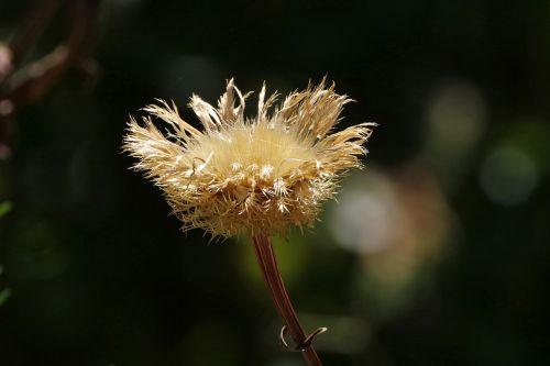 Dried American Basket Flower