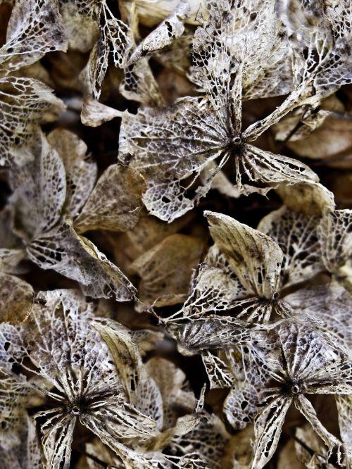 dried hydrangeas background texture