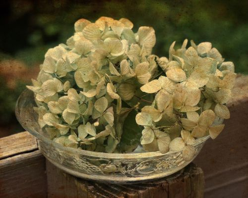 dried hydrangeas in glass bowl dried hydrangea flowers graphic
