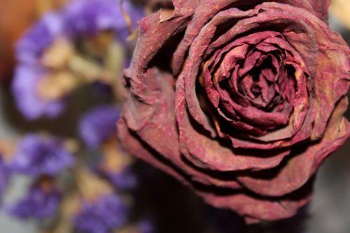 džiovintos rožės,gėlių,gėlė,rožė,sausas,raudona,miręs,trapi,augalas,lapai,senas,džiovintas,meilė,valentine