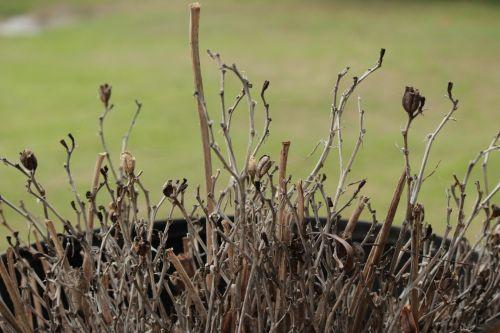 Dried Twigs