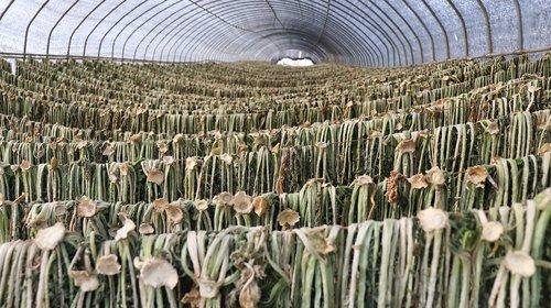 driedradishgreens  radish  greens