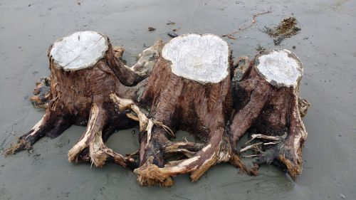driftwood stump tree stump