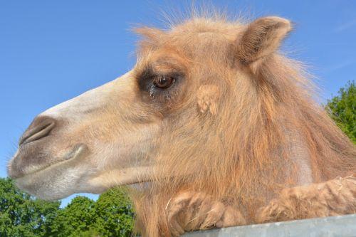 dromeda camel zoo
