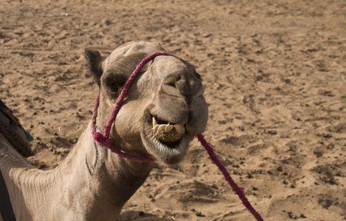 dromedary camel desert