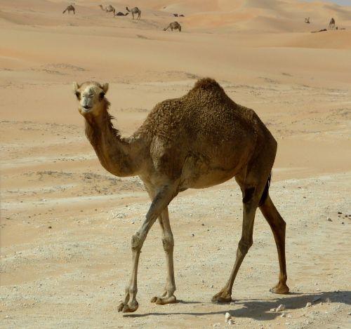 dromedary desert ship sand