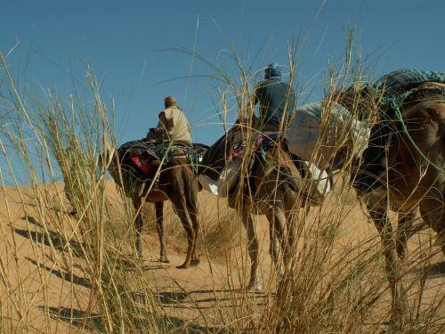 dromedary desert camel