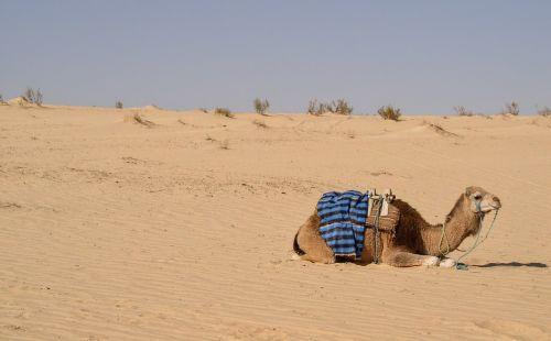 dromedary sahara tunisia