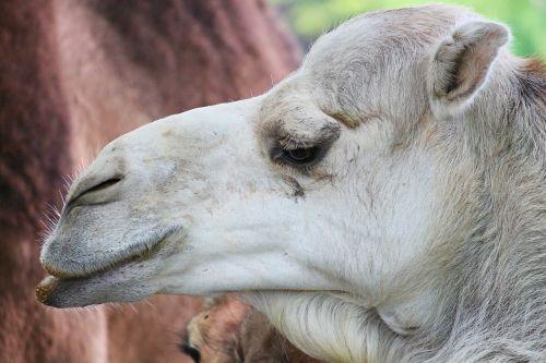 dromedary camel animal