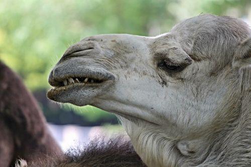 dromedary camel teeth