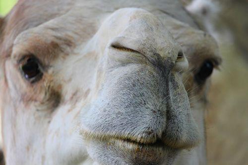 dromedary camel nose