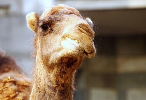 dromedary  zoo  camel