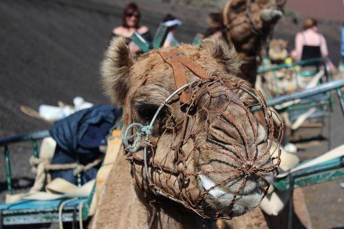 dromedary camel desert ship