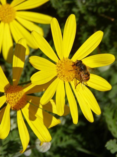 drone bee yellow daisy