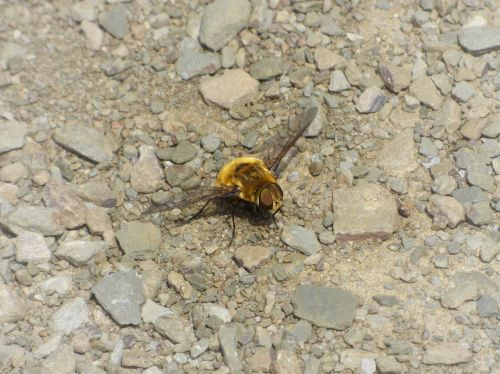drone bombus drone yellow