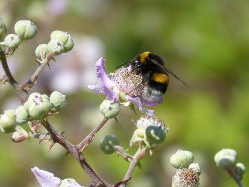 drone  bumblebee  libar