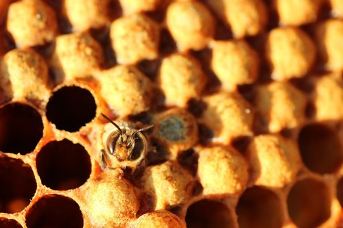 drone  bee  hatch