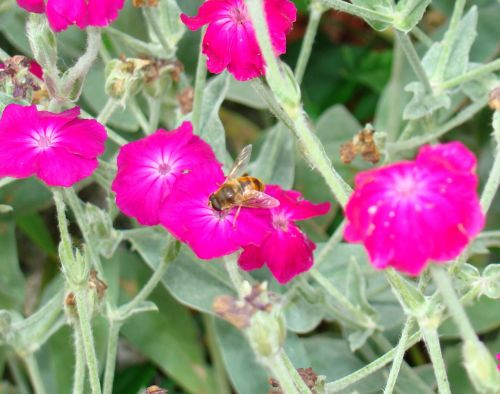 Drone Fly On Pink Flower