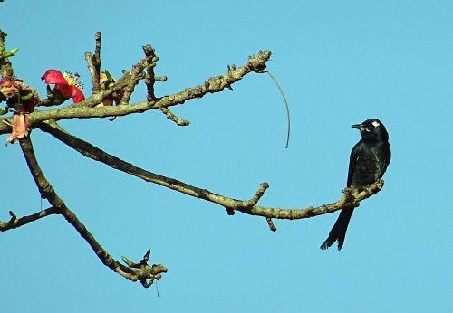 drongo dicrurus macrocercus passerine