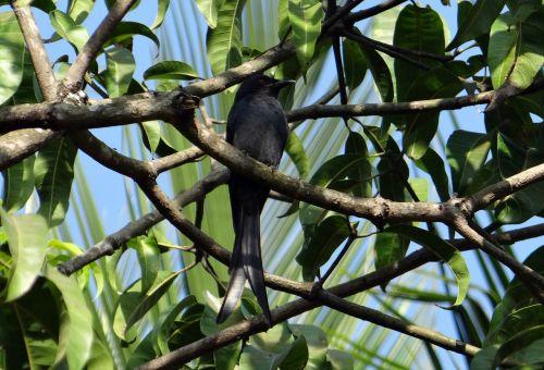drongo bird fauna