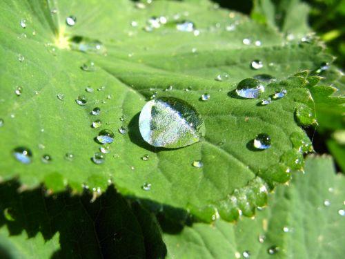 drop of water leaf frauenmantel