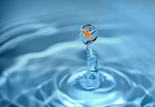 drop of water goldfish fish