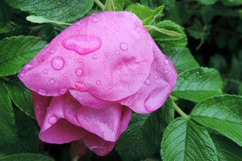 drop of water potato rose japan rose