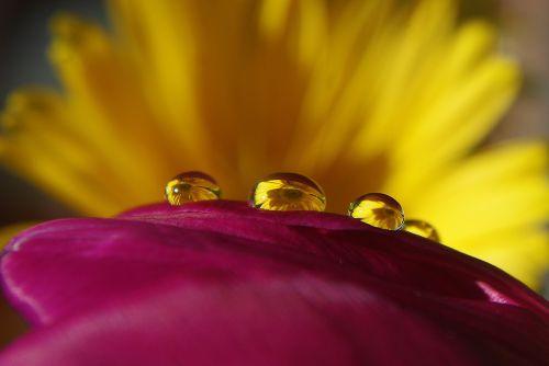 lašas vandens,lašelinė,vanduo,gėlė,augalas,žiedas,žydėti,nuotrauka,lapai,makro,Uždaryti,lietus,apšvietimas,sėklos,geltona,makro nuotrauka,šlapias,spindesys,liūtys,karoliukas,gamta,Iš arti