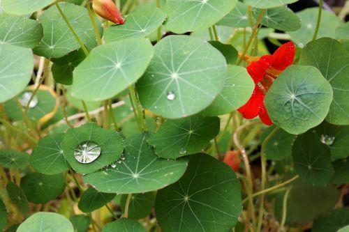 drop of water shine nasturtium