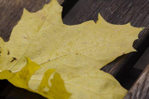 drops sheet maple