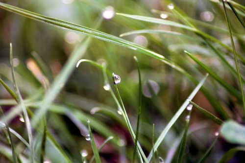 lašai,rasa,žolė,makro,gamta,žalias,rasos lašas,rasos rasos,veja,rytas