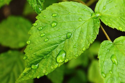drops of water raspberry leaf green
