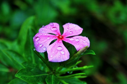 Drops On Pink Periwinkle