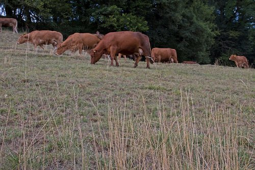 drought  cow  cow herd