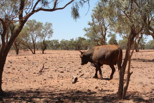 drought cattle outback