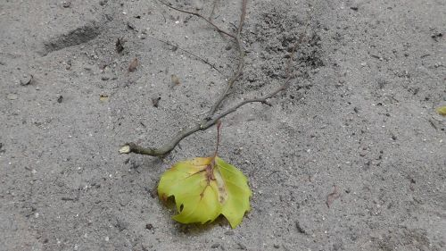 drought maple leaf land