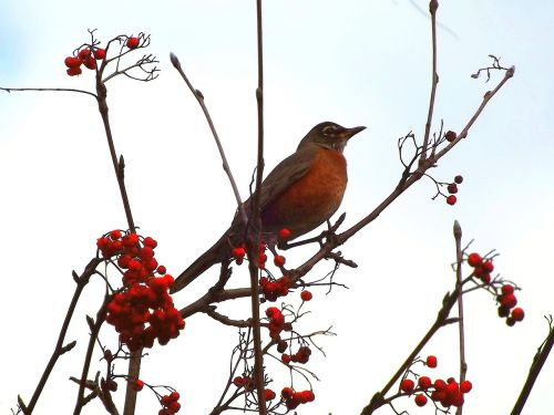 drozd bird thrush wandering