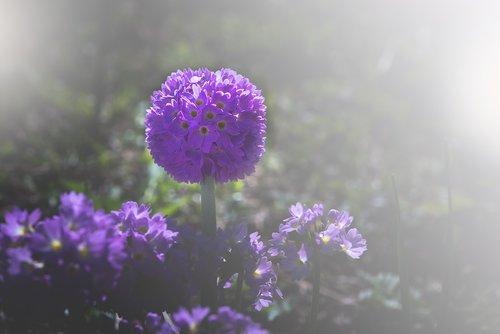 drumstick  primrose  garden