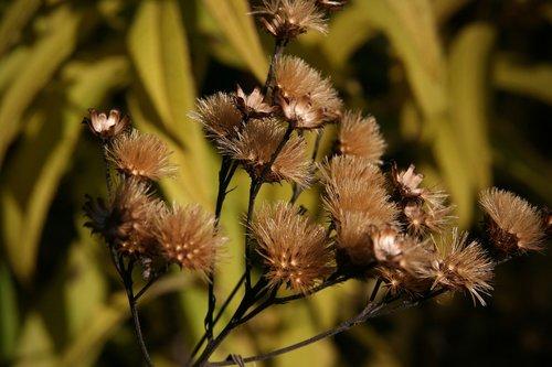 dry  trockenblume  autumn
