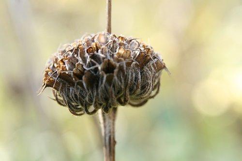dry  trockenblume  infructescence