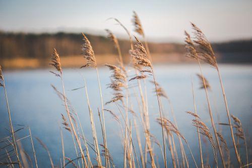 dry dried grass