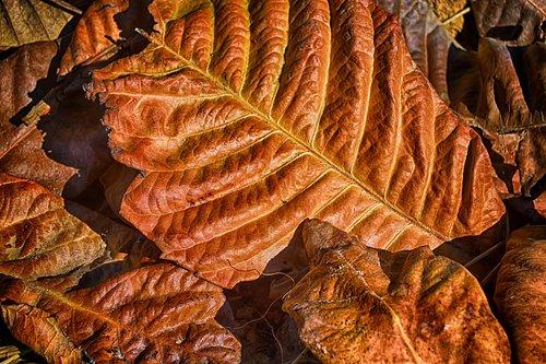 dry leaf  autumn  red leaf
