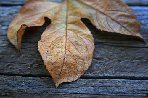 Dry Leaf Close