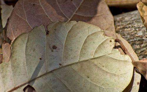 dry leaves cashew tree vegetable