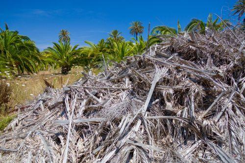 Dry Palm Tree Leaves