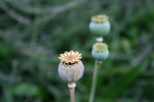 Dry Poppy Seedpod In The Garden