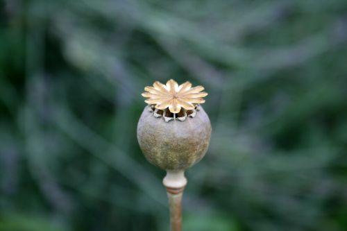 Dry Poppy Seedpod
