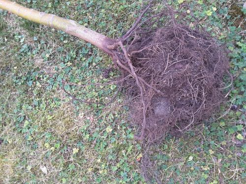 Dry Roots