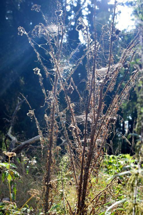 dry thistle sunbeam glade